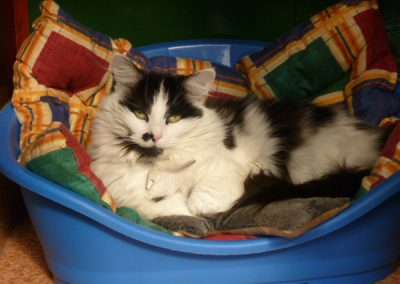 Cattery East Sussex black and white long hair cat on bed 600